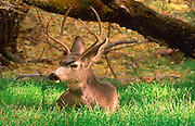 Male Mule Deer resting on grass near the edge of the forest.