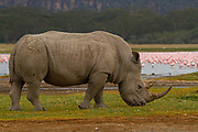 White rhinoceros or Square-lipped rhinoceros (Ceratotherium simum) Photographed Lake Nakuru, Kenya