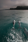 Hector's dolphin, Cephalorhynchus hectori, surfacing to breathe, Endangered Species, endemic to New Zealand, Akaroa, Banks Peninsula, South Island, New Zealand ( South Pacific Ocean )