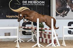 015, Mister Magic<br /> Hengstenkeuring Brp- Azelhof - Lier  2021<br /> © Hippo Foto - Dirk Caremans<br /> 14/04/2021