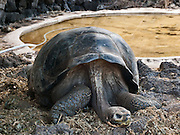 A Galápagos giant tortoise (Chelonoidis nigra, formerly Geochelone elephantopus) rests its long neck by a pool of water at the Charles Darwin Research Station (CDRS, operated by the Charles Darwin Foundation) in Puerto Ayora on Santa Cruz Island, Galápagos islands, Ecuador, South America. This species is the largest living tortoise and is native to seven islands of the Galápagos archipelago. Fully grown adults can weigh over 300 kilograms (661 lb) and measure 1.5 meters (5 feet) over the curve of the shell. They are long-lived with a life expectancy of up to 100-150 years in the wild. Populations fell dramatically because of hunting and the introduction of predators and grazers by humans since the 1600s. Only ten subspecies of the original twelve exist in the wild. Since Galápagos National Park and the Charles Darwin Foundation were established, hundreds of captive-bred juveniles have been released back onto their home islands.