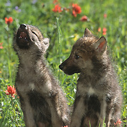 Gray wolf (Canis lupus) pups in a field of blooming red Indian paintbrush, howling. Montana, Captive Animal