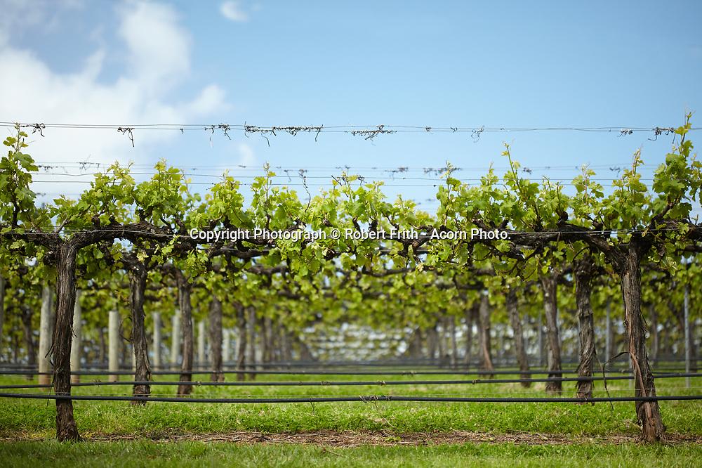 New season's growth at Harewood Estate vineyard