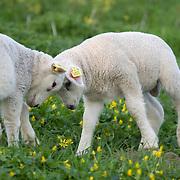 Nederland Barendrecht 5 april 2009 20090405 Foto: David Rozing ..Jonge lammetjes in de wei aan het stoeien, lente, lenteweer.Little lambs playfull in field in springtime..Foto: David Rozing