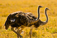 Female ostriches, Serengeti National Park, Tanzania