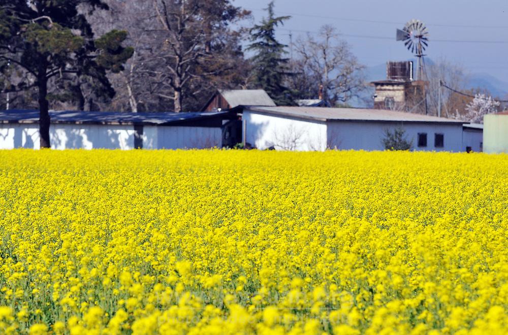 Mustard flowers prosper in a well-drained field off Hwy 101 near Salinas.