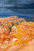 An aspen tree displays its autumn colors on a ridge in Bryce Canyon National Park, Utah, as a heavy rainstorm approaches.