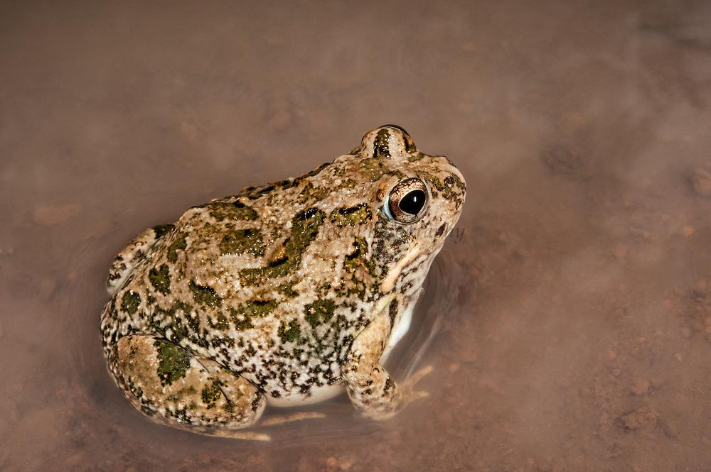 Knocking sand frog (Tomopterna krugerensis)<br /> Marataba, A section of the Marakele National Park, Waterberg Biosphere Reserve<br /> Limpopo Province<br /> SOUTH AFRICA<br /> HABITAT & RANGE: Variety of habitats in savanna.