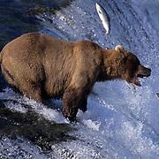 Alaskan brown bear (Ursus middendorffi) catching salmon at Brooks Falls on the Brooks River, Alaska.