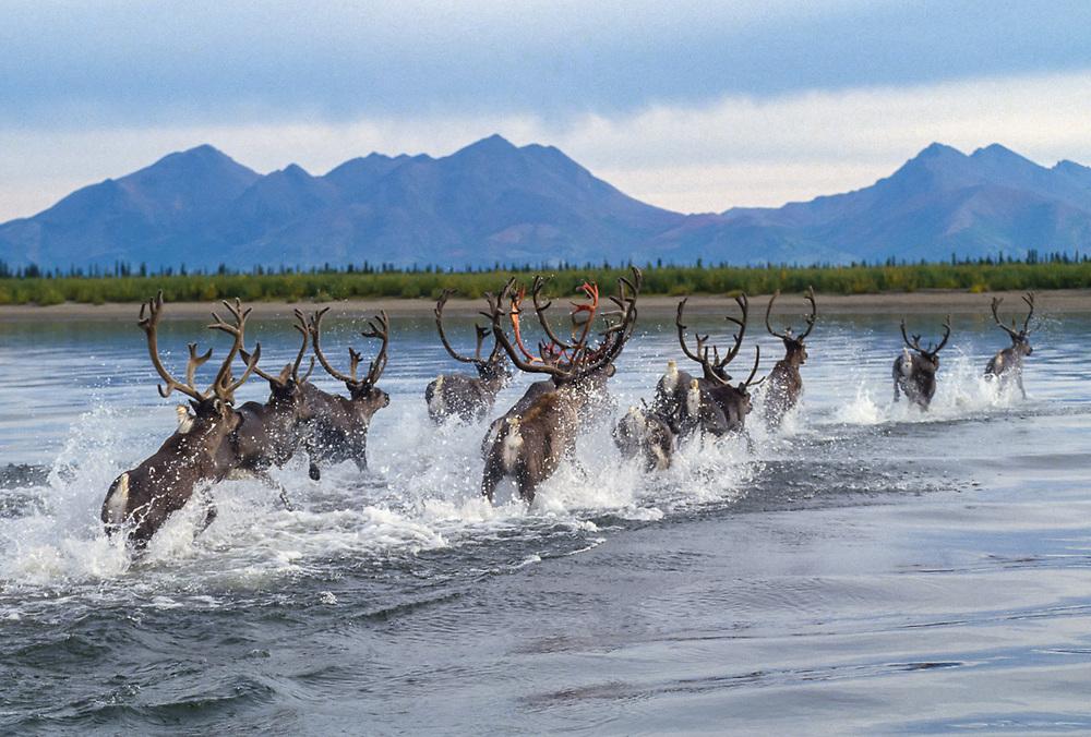 Caribou migration, Onion Portage, Kobuk River, Kobuk Valley National Park, Alaska, USA