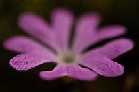 Least Primrose (Primula minima), detail of the corolla. Western Tatras, Slovakia. June 2009.<br /> Mission: wilderness of Ticha