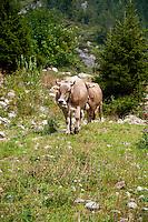 Golzern, Switzerland - cows walking along mountain path.