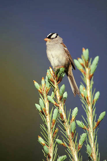 White-crowned Sparrow, (Zono trichia leucophrys) Songbird in Southwest Montana. Early summer.