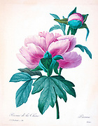 19th-century hand painted Engraving illustration of a Paeonia lactiflora (Chinese peony or common garden peony) flower, by Pierre-Joseph Redoute. Published in Choix Des Plus Belles Fleurs, Paris (1827). by Redouté, Pierre Joseph, 1759-1840.; Chapuis, Jean Baptiste.; Ernest Panckoucke.; Langois, Dr.; Bessin, R.; Victor, fl. ca. 1820-1850.