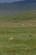 Lioness hunting using grass for cover, Ngorongoro Crater, Tanzania.