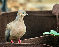 Mourning Dove. Image taken with a Fuji X-T2 camera and 100-400 mm OIS telephoto zoom lens.