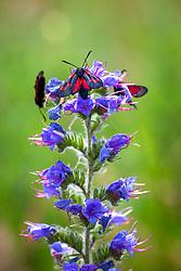 Burnet moths (Zygaena filipendulae) on Viper's bugloss (Echium vulgare)