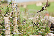 Catching the action - fast flying parent feeding juvenile swallow family on fence, Staffordshire, England