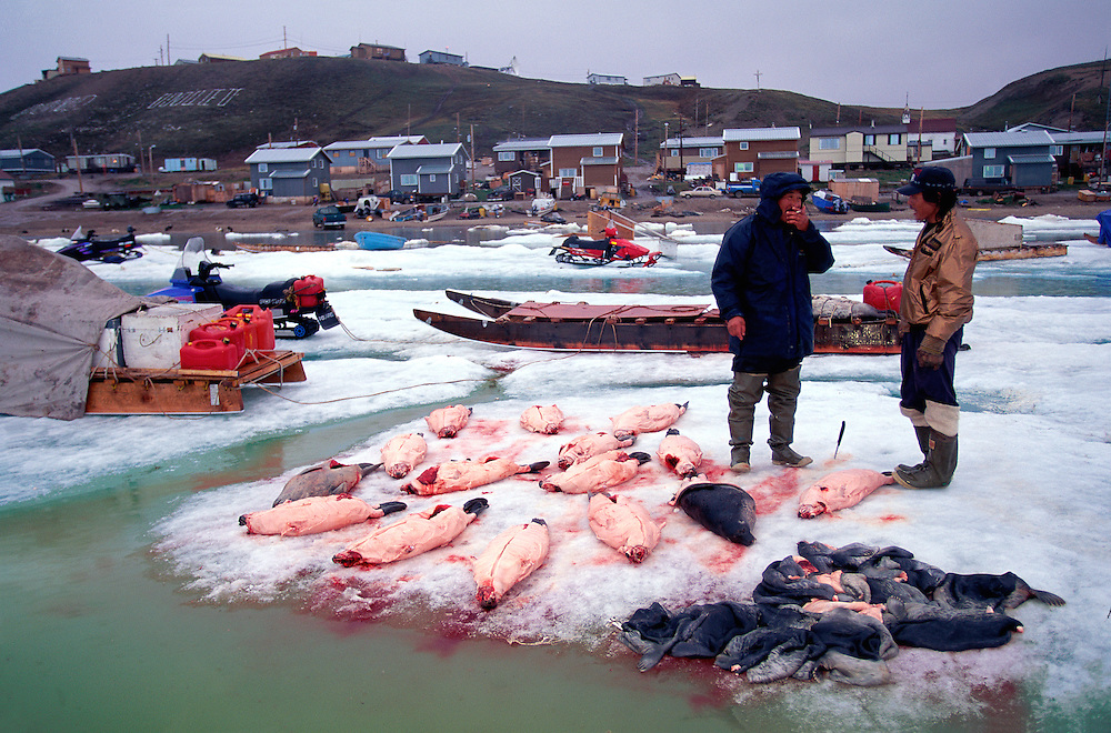 inuit hunters And a days catch of Ringed seals, Pond Inlet, Canada