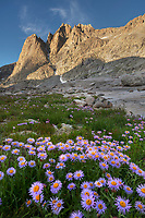 Mount Helen and field of purple Asters growing in Upper Titcomb Basin, Bridger Wilderness, Wind River Range Wyoming