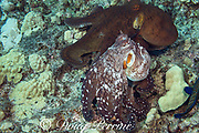 day octopuses ( common reef or big blue octopus ), Octopus cyanea, courtship; male, below, flashes a pale color pattern while pursuing female, above, in normal dark coloration, Kohanaiki, North Kona, Hawaii Island ( the Big Island ), Hawaiian Islands, U.S.A. ( Central Pacific Ocean )