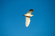 Cattle Egret (Bubulcus ibis)<br /> Little St Simon's Island, Barrier Islands, Georgia<br /> USA<br /> HABITAT & RANGE: Widespread