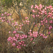 Impala lily, South Africa.