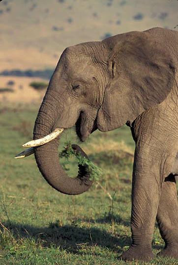African Elephant, (Loxodonta africana)  Portrait. Africa.