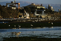 Great blue heron (Ardea herodias) with boats, power plant and industrial complex in background.