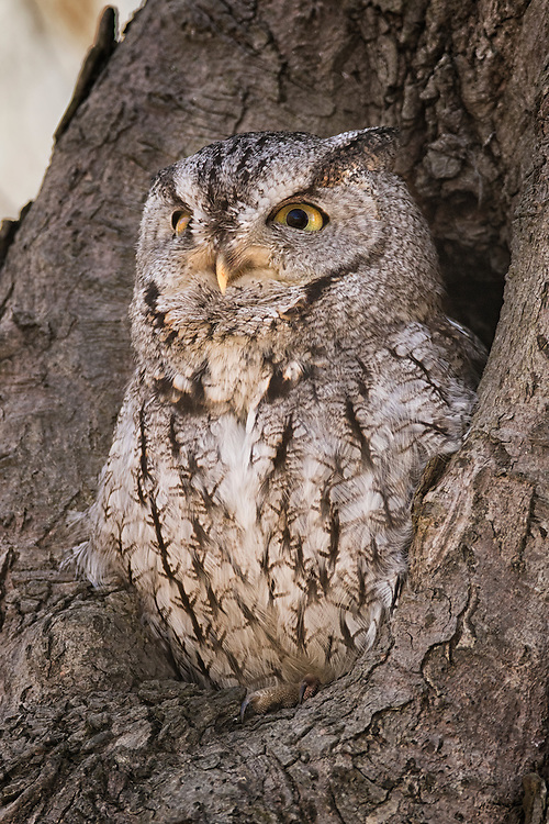 """Screech owl surveys his hunting grounds. <br /> <br /> Available sizes:<br /> 18"""" x 12"""" print or canvas print<br /> <br /> See Pricing page for more information. Please contact me for custom sizes and print options including canvas wraps, metal prints, assorted paper options, etc. <br /> <br /> I enjoy working with buyers to help them with all their home and commercial wall art needs."""