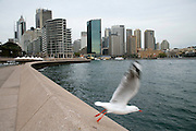 Seagull taking off in Sydney Harbour