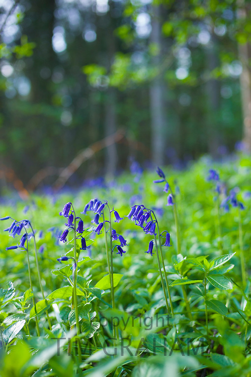 Bluebells, Hyacinthoides non-scripta, in a woodland scene in Swinbrook in the Cotswolds, Oxfordshire, UK