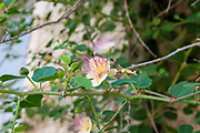 Close up of a Common Caper - Capparis spinosa