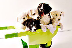 puppy, smiles, laughs, border collie, pit bull, black, white, wheelbarrow, bowl