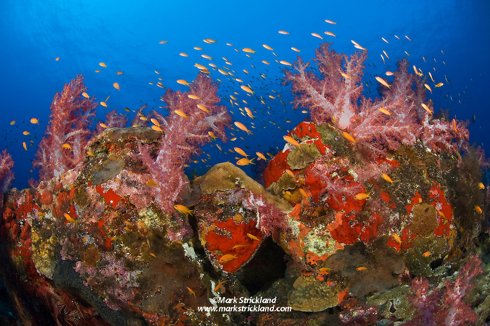 Schooling Scalefin Anthias, Pseudanthias squamipinnis, swarm above thriving colonies of soft coral, Dendronepthya sp., and encrusting sponge.  Barren Island, Andaman Islands, India, Andaman Sea