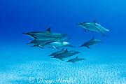Hawaiian spinner dolphin or Gray's spinner dolphin or long-snouted spinner dolphin ( Stenella longirostris longirostris ) Makalawena, Kona Coast, Big Island, Hawaii ( Central Pacific Ocean )