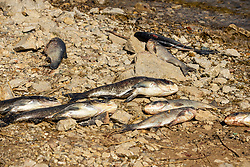 Dead shad from a winter kill lie lifeless on the rocky bank of the stream downstream from a lakes dam.