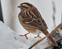 White-throated Sparrow (Zonotrichia albicolli). Image taken with a Nikon D850 camera and 600 mm f/4 VR lens.
