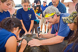 Researcher George Balazs PhD, inscribing a number with an electric drill on the carapace (turtle shell) of a Green Sea Turtle, Chelonia mydas, Marine Turtle Research, organized by NOAA National Marine Fisheries Service (NMFS), Hawaii Preparatory Academy (HPA) students and teachers (NOAA/HPA Marine Turtle Program), and ReefTeach volunteers at Kaloko-Honokohau National Historical Park, Kona Coast, Big Island, Hawaii, USA, Pacific Ocean