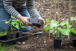 Planting out young runner bean plants at the base of a cane teepee. Phaseolus coccineus 'White Lady' - Runner bean