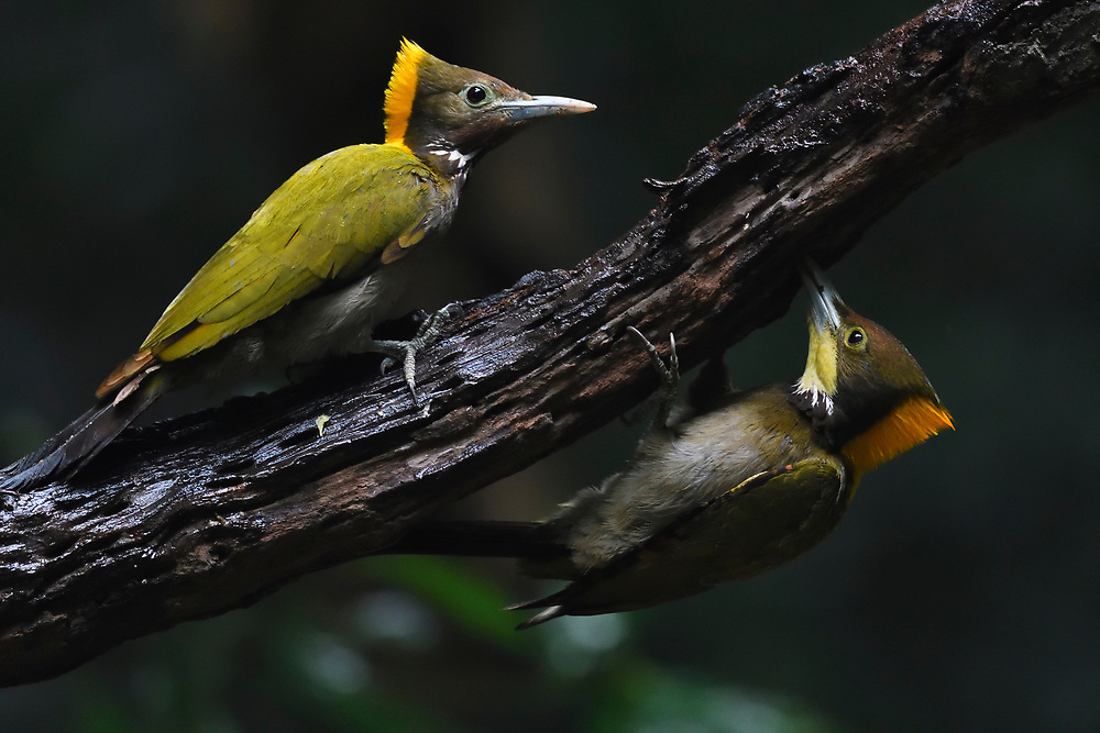 Two Greater yellow-naped woodpecker birds, Picus flavinucha, sitting on a branch at Tongbiguan nature reserve, Dehong Prefecture, Yunnan Province, China