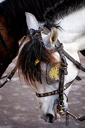 Horse used for pulling tourist buggy in Marrakech, Morocco, North Africa<br /> <br /> (c) Andrew Wilson | Edinburgh Elite media
