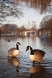 © Licensed to London News Pictures. 12/01/2014. Reading, Berkshire, UK. A pair of Canada Geese wading through flood water along the Thames Path in Reading, Berkshire. The River Thames has broken its banks causing extensive flooding. Photo credit : Rob Arnold/LNP