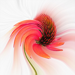 Inspired by the movement and dance of a coneflower in the wind