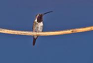 Lucifer Hummingbird - Calothorax lucifer - Adult male