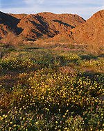 CADJT_105 - USA, California, Joshua Tree National Park, Evening light on spring bloom of desert dandelion and Arizona lupine beneath the Cottonwood Mountains.