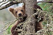 Alaskan Brown bear cubs at Katmai National Park, Alaska.