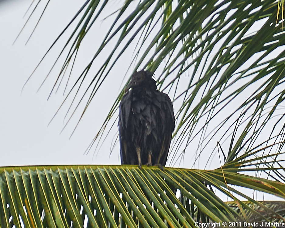 Black Vulture (Coragyps atratus). Semester at Sea Field Trip. Limon, Costa Rica. Image taken with a Nikon D3s camera and 70-300 mm VR lens