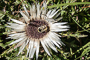Carlina acaulis (Stemless carline thistle, Dwarf carline thistle, Silver thistle, or Silberdistel) is native to alpine mountains of central and southern Europe. It is a perennial dicotyledonous flowering plant in the Asteraceae / daisy / sunflower family. The flower head appears to grow directly from the ground as it rests directly upon a basal leaf rosette. Photographed in Trift Valley, Zermatt, Pennine/Valais Alps, Switzerland, Europe, on the steep trail below Berggasthaus Trift. Ideal for hiking in a natural setting, Trift is the only Valley in Zermatt free of railways, lifts or ski runs. From Zermatt, hike the scenic Höhbalmen Höhenweg loop via Bergrestaurant Edelweiss, Trift Hut and Zmutt. With delightful views of the Matterhorn, plus many other peaks and glaciers, this strenuous loop accumulates 1200 meters vertically, up and down over 21.6 km (13.4 miles).