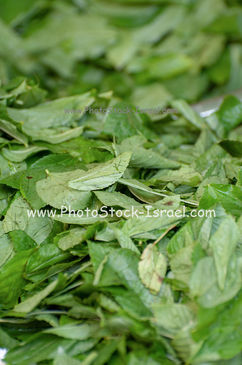 Mulukhiyah Leafs drying in the sun. Mulukhiyah are the leaves of Corchorus olitorius commonly known as The Arab 's mallow, Nalta jute, or tossa jute.It is used as a vegetable. It is popular in Middle East, East African and North African cuisines